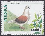 Gołębie hodowlane - 3363